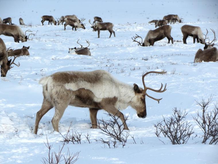 reindeer-2524817_1920